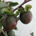 果樹の苗/カキ(柿):クロガキ(黒柿)4〜5号ポット