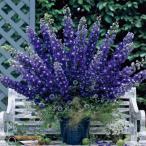 草花の苗/デルフィニウム:F1オーロラ ディープパープル3号ポット2株セット