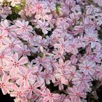 草花の苗/芝桜(シバザクラ) :タマノナガレ(多摩の流れ) 4株セット