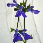 草花の苗/サルビア:シナロエンシス コスミックブルー3〜3.5号ポット2株セット