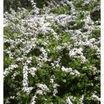 花木 庭木の苗/ユキヤナギ(雪柳)4.5号ポット