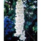 草花の苗/デルフィニウム:マジックフォンテンピュアホワイト3号ポット2株セット