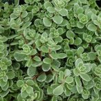 観葉植物/セダム:斑入りマルバマンネングサ2株セット