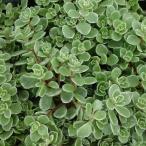 観葉植物/セダム:斑入りマルバマンネングサ3号ポット