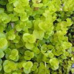 草花の苗/リシマキア ヌンムラリア オーレア3〜3.5号ポット2株セット