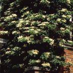ショッピングアジサイ 草花の苗/ツルアジサイ(蔓紫陽花)3号ポット2株セット