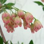 花木 庭木の苗/ドウダンツツジ:岩しだれ 4〜5号ポット
