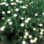 ハーブ苗 八重咲き種類の苗
