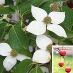 花木 庭木の苗/ヤマボウシ:ビッグアップル6号ポット