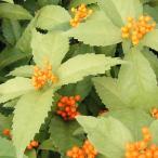 花木 庭木の苗/実付き 千両(センリョウ):黄実5号鉢植え