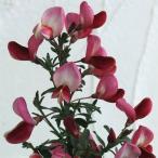 花木 庭木の苗/エニシダ:赤花 3〜3.5号ポット