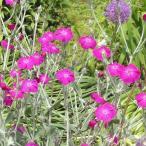 草花の苗/リクニス:コロナリア(スイセンノウ)3〜3.5号ポット2株セット