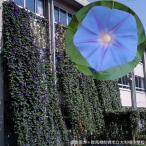 草花の苗/アサガオ(イポメア):宿根朝顔ケープタウンブルー3.5号ポット