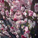 花木 庭木の苗/花桃:源平桃(ゲンペイモモ)4〜5号ポット