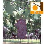 果樹の苗/ブドウ:ベニフジ(紅富士)挿木苗4号ポット