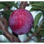 果樹の苗/スモモ(プラム):太陽(たいよう)4〜5号ポット
