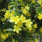 草花の苗/カロライナジャスミン3号ポット