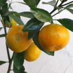 果樹の苗/12月上〜下旬収穫 お正月飾りに 豊産性で糖度が高い柑橘・かんきつ類苗木 小みかん4〜5号ポット