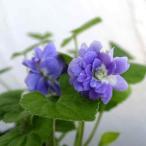 草花の苗/ニオイスミレ:パープル八重咲き3号ポット2株セット