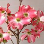 花木 庭木の苗/ハナミズキ:レッドジャイアント6号ポット