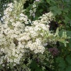花木 庭木の苗/ピラカンサス:ハーレクイーン5号ポット
