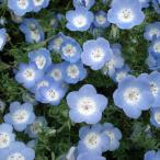草花の苗/ネモフィラ:インシグニスブルー3〜3.5号ポット2株セット