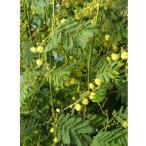 花木 庭木の苗/アカシア:デアネイ6号ポット