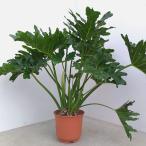観葉植物/フィロデンドロン セロウム 7号鉢植え