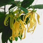 イランイラン:4.5号鉢植え