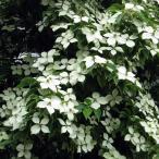 花木 庭木の苗/常緑ヤマボウシ:ホンコンエンシス月光6号ポット