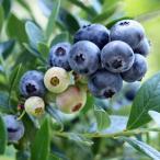 果樹の苗/ブルーベリー:サンシャインブルー4〜5号ポット
