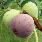 果樹の苗/イチジク:日本種(早生日本種)4〜5号ポット
