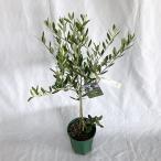 果樹の苗/オリーブ:レッチーノ6号ポット