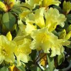 花木 庭木の苗/西洋シャクナゲ:サフロンクイーン4〜4.5号ポット