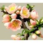 花木 庭木の苗/木瓜:富士の嶺3〜4号ポット