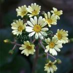 山野草の苗/ツワブキ:白花ツワブキ3号ポット