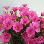 草花の苗/オキザリス:桃の輝き3.5号ポット