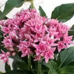 草花の苗/八重咲きペンタス:ライカピンク3.5号ポット