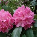 花木 庭木の苗/西洋シャクナゲ:太陽(たいよう)3.5号ポット