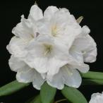 花木 庭木の苗/西洋シャクナゲ:真珠姫3.5号ポット