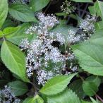 花木 庭木の苗/コアジサイ:オクタマコアジサイ(奥多摩小紫陽花)3号ポット