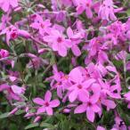 草花の苗/フロックス:ストロニフェラ(ツルハナシノブ)ピンク(桃花)3〜3.5号ポット2株セット