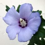 花木 庭木の苗/ムクゲ(槿):ブルーサーティン5号ポット
