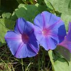 花の苗 宿根アサガオ オーシャンブルー