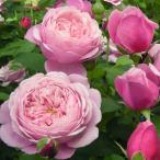 バラの苗/デルバールローズ:シャンテ・ロゼ・ミサト大苗6号角鉢植え