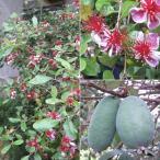 花木 庭木の苗/フェイジョア:トライアンフ6号ポット