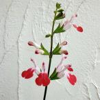 草花の苗/サルビア ミクロフィラ:ホットリップス3〜3.5号ポット2株セット