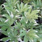 花木 庭木の苗/ヤツデ:斑入りヤツデ7号ポット樹高30〜40cm