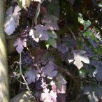 花木 庭木の苗/ヨーロッパブドウ:プルプレア3号ポット