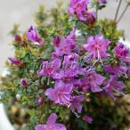 極小型種 1cm程の淡紅紫色の一重咲花